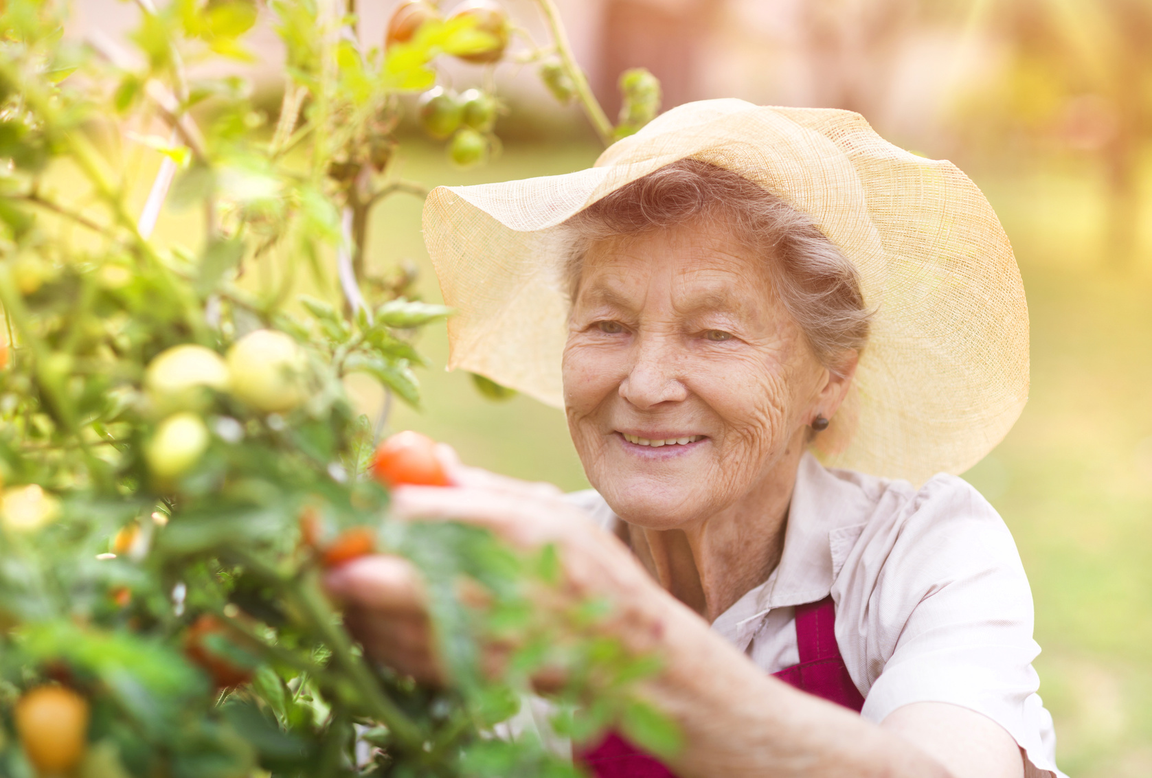 Senior woman in her garden harvesting tomatoes